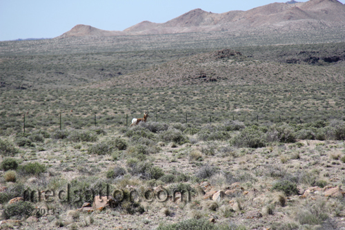 Antelope spotted along US Hwy 6, Nevada Basin and Range loneliest Hwy in USA