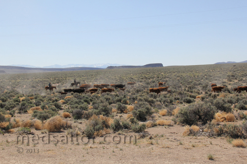 US Hwy 6, Nevada Basin and Range loneliest hwy in USA, Cattle Drive