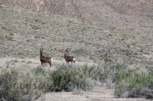Mule Deer spotted along US Hwy 6, Nevada Basin and Range loneliest Hwy in USA